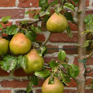 leibomen met fruit