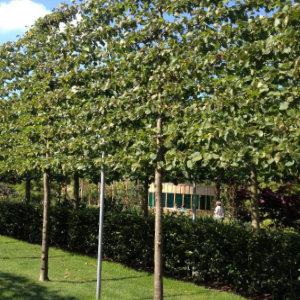 Super Leibomen: Soorten & tips voor het planten | Tuinpraat.be PT-67
