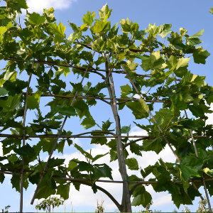 Ongekend Leibomen: Soorten & tips voor het planten | Tuinpraat.be AG-49