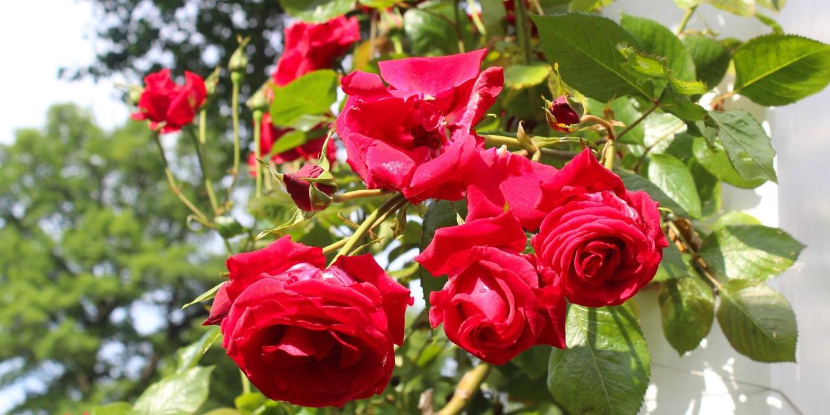 rozen snoeien na de bloei