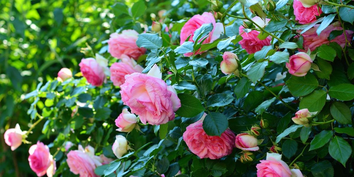 snoeischaar rozen